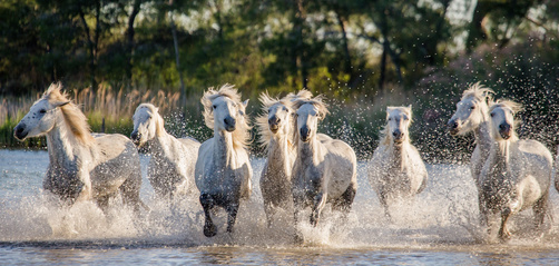 White Camargue Horses run in the swamps nature reserve. Parc Regional de Camargue. France. Provence. An excellent illustration