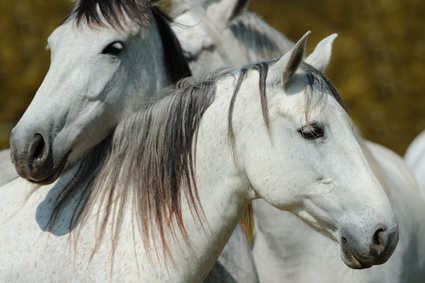 Two white camargue horses
